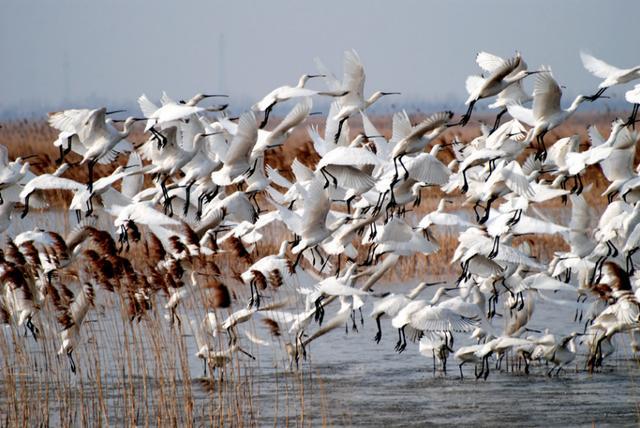 人类不可无珍禽丨江苏盐城湿地珍禽国家级自然保护区的丹顶鹤